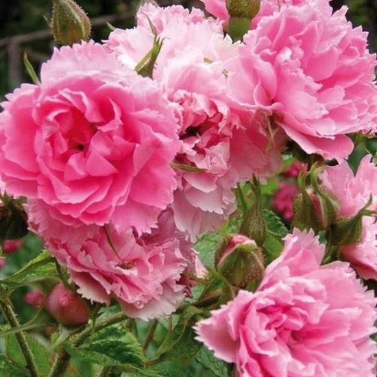 Le rosier Pink Grootendorst - Les Doigts Fleuris
