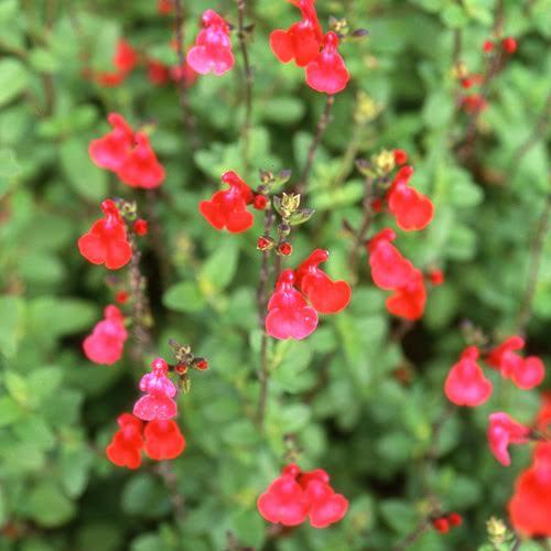 La Sauge Rustique, Salvia Grahamii, Forme Un Buisson…