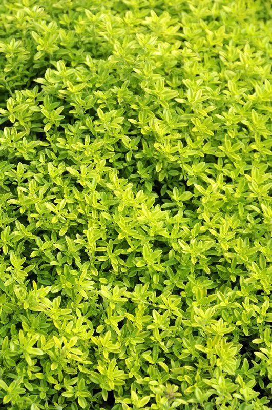 Le thym citron : un parfum et un goût à découvrir ! - Les Doigts Fleuris