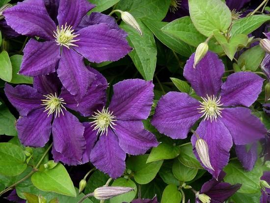 Clématite Viticella Etoile Violette - Les Doigts Fleuris