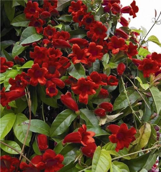 La Bignonia Capreolata Atrosanguinea - Les Doigts Fleuris