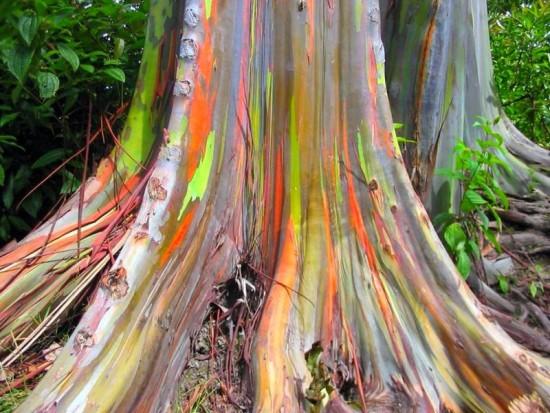 L'eucalyptus Deglupta, L'arbre «arc-en-ciel»