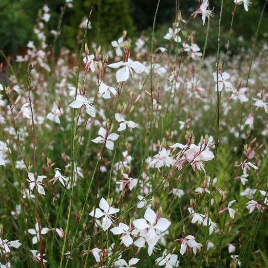 Le Gaura Lindheimeri - Les Doigts Fleuris