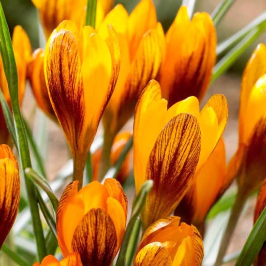 Un Bulbe D'hiver En Or,  Le Crocus « orange Monarch »