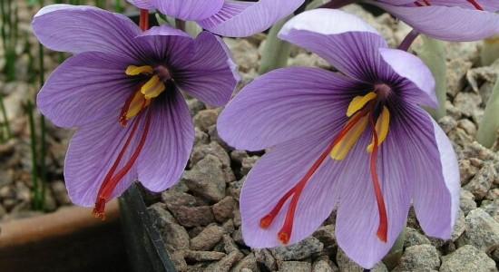 Un bulbe d'automne, le crocus sativus offre le Safran ! - blog jardin