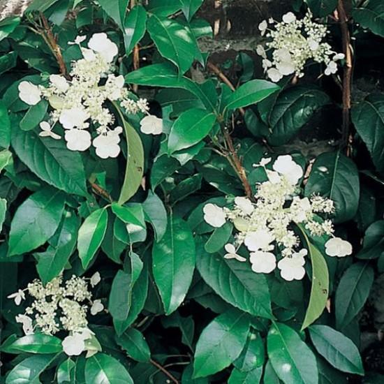 L'Hortensia Grimpant Seemanii