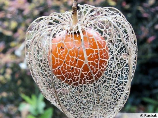 La Physalis Alkekengi «Halloween King», Une Vivace Spéciale Halloween !