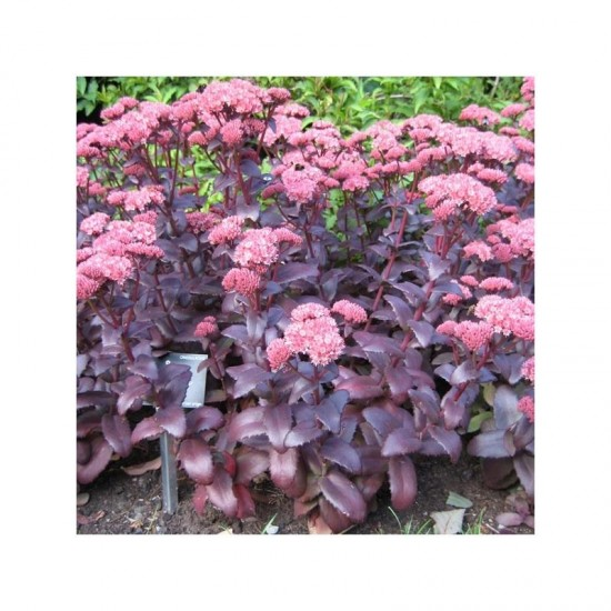 Sédum Purple Emperor - Les Doigts Fleuris
