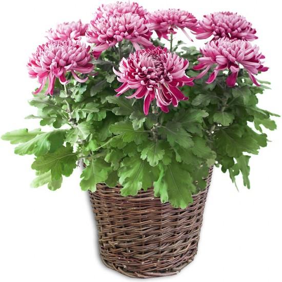 Le chrysantheme - ces plantes qui diffusent de l'énergie positive - Les Doigts Fleuris