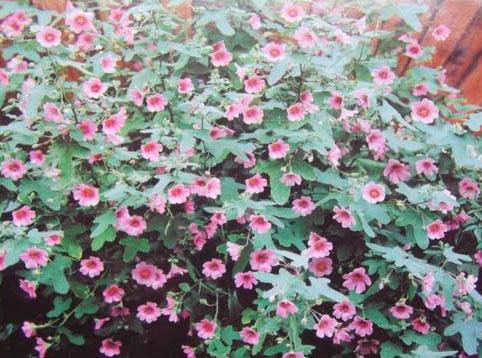 Une Plante Fleurie Toute L'année L'anisodontea «El Rayo»