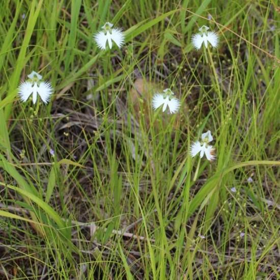 Orchidée Colombe - Les Doigts Fleuris