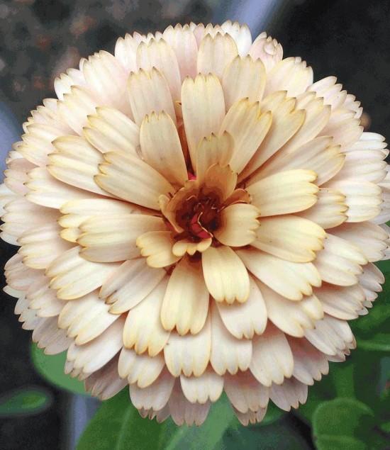 plantes vivaces - Calendula Banana Blizzard - Blog jardin