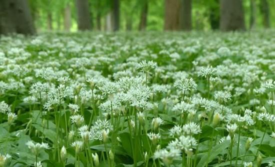 Ail Des Ours - Les Doigts Fleuris