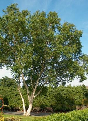 Ces arbres qui nous font du bien - le bouleau - Les Doigts Fleuris