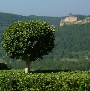 Ces arbres qui nous font du bien - le buis - Les Doigts Fleuris