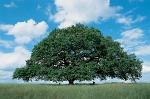 Ces arbres qui nous font du bien - le chêne - Les Doigts Fleuris
