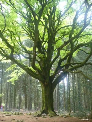Ces arbres qui nous font du bien - le hêtre - Les Doigts Fleuris