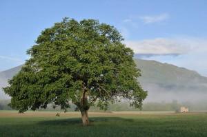 Ces arbres qui nous font du bien - le noyer - Les Doigts Fleuris