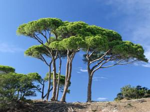 Ces arbres qui nous font du bien - le pin - Les Doigts Fleuris