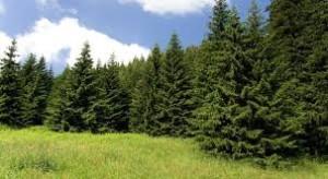 Ces arbres qui nous font du bien - le sapin - Les Doigts Fleuris