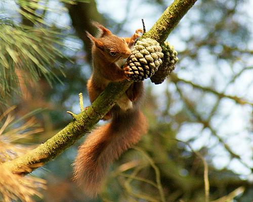 Pour ou contre la culture de l'épicéa l'écureuil - Les Doigts Fleuris