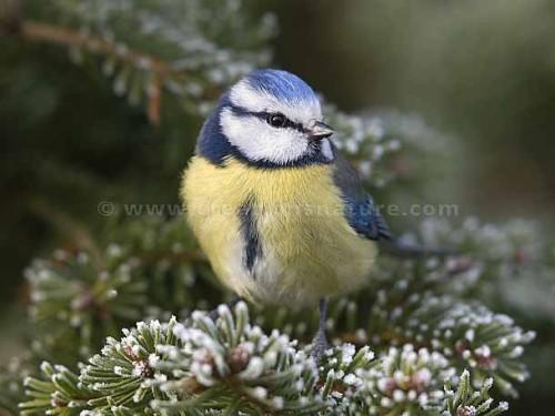 Pour ou contre la culture de l'épicéa les oiseaux- Les Doigts Fleuris