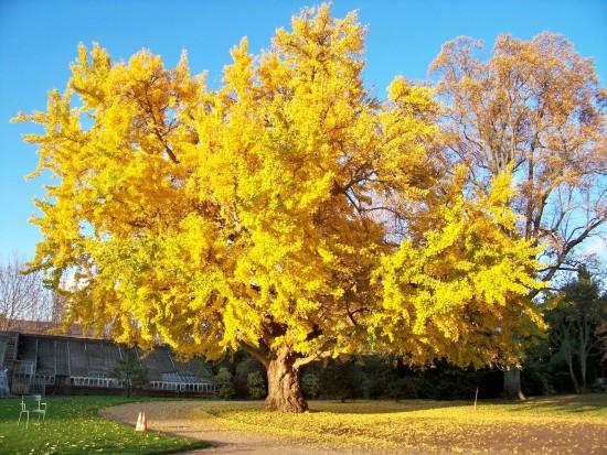L'arbre à La Couleur D'or, Le Ginkgo Biloba !