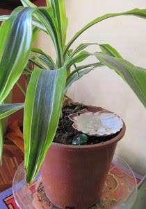 Électroculture : Améliorez l'épanouissement de vos plantes avec la coquille Saint-Jacques - Les Doigts Fleuris