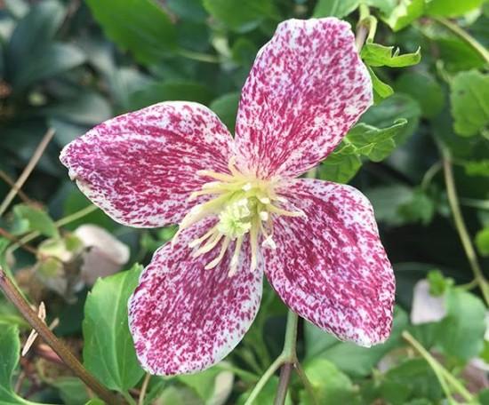 La Clématite Cirrhose «Freckles» Fleurit En Hiver !