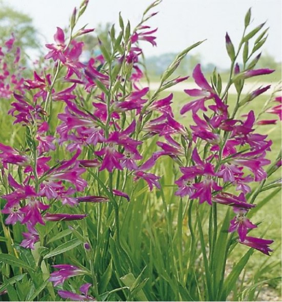 Glaïeul De Bizance - Les Doigts Fleuris