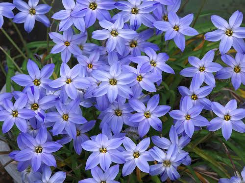 Iphéion Uniflorum Winsley Blue - Les Doigts Fleuris