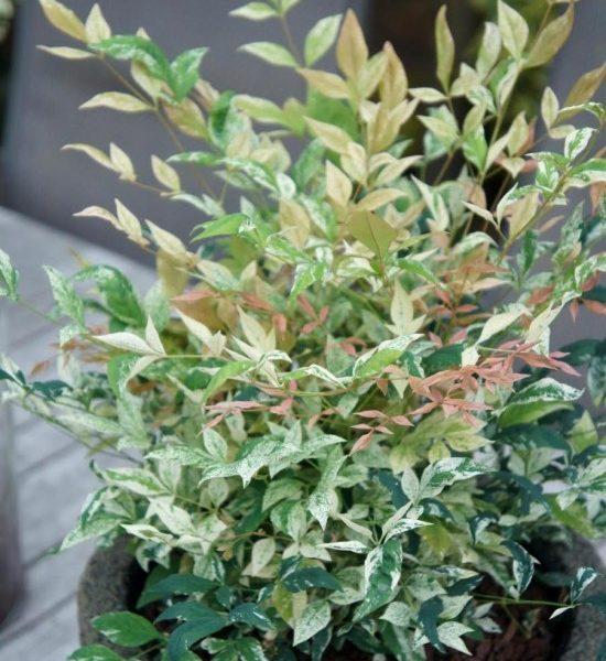 Un Arbuste Intéressant Aux 4 Saisons, Le Nandina Domestica Twilight