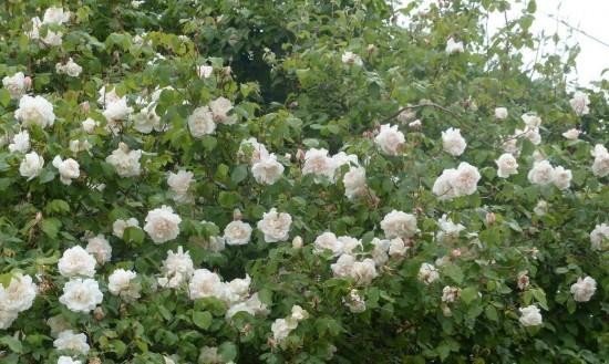 le rosier alfred carrière - Les Doigts Fleuris