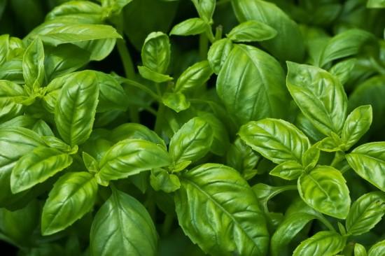 Basilic La Plante Aromatique Aux 5 Parfums Tonnants