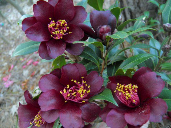 Le Camélia, Un Arbuste D'hiver Aux Fleurs Rouges Foncés