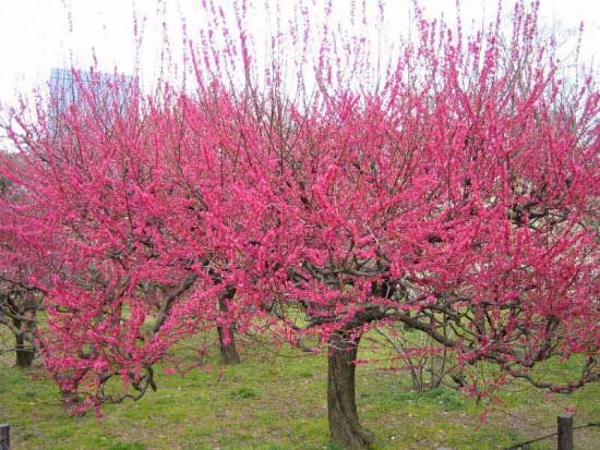 Prunus Mume Béni-Chidori - abricotier du Japon - Les Doigts Fleuris