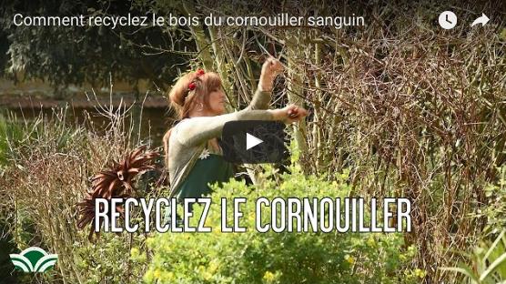 Le Cornouiller Alba Sibérica, Recycler Son Bois