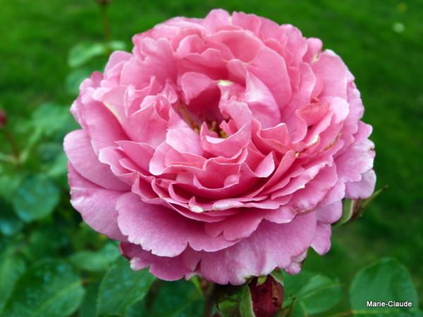 rosier Yves Piaget, aux allures de pivoine