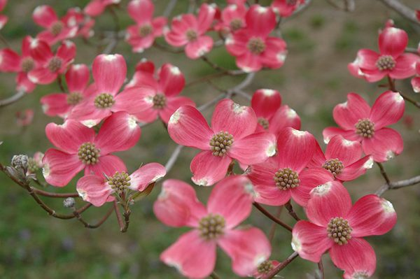Cornus Cherokee Chief