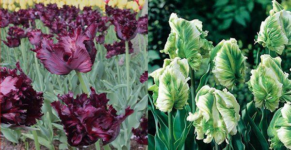 Tulipes Black Et White Parrot Au Jardin