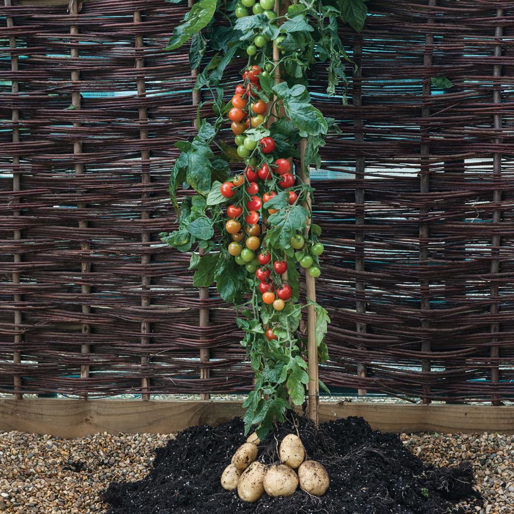 tomate et pommes de terre, une plante !