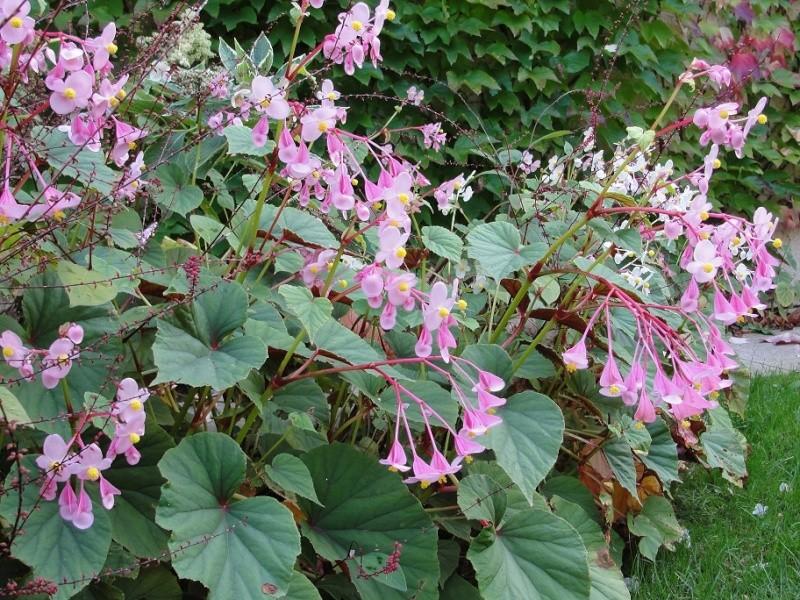 bégonia vivace pour les jardins