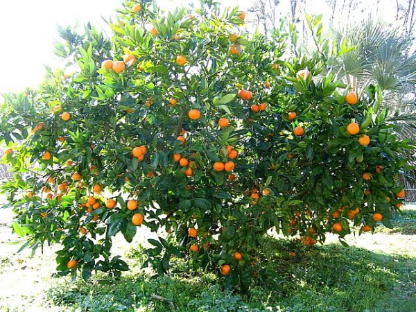 Mandarinier Rustique Satsuma