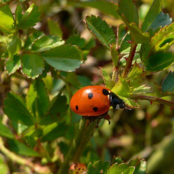Rosiers Et Traitements Naturels