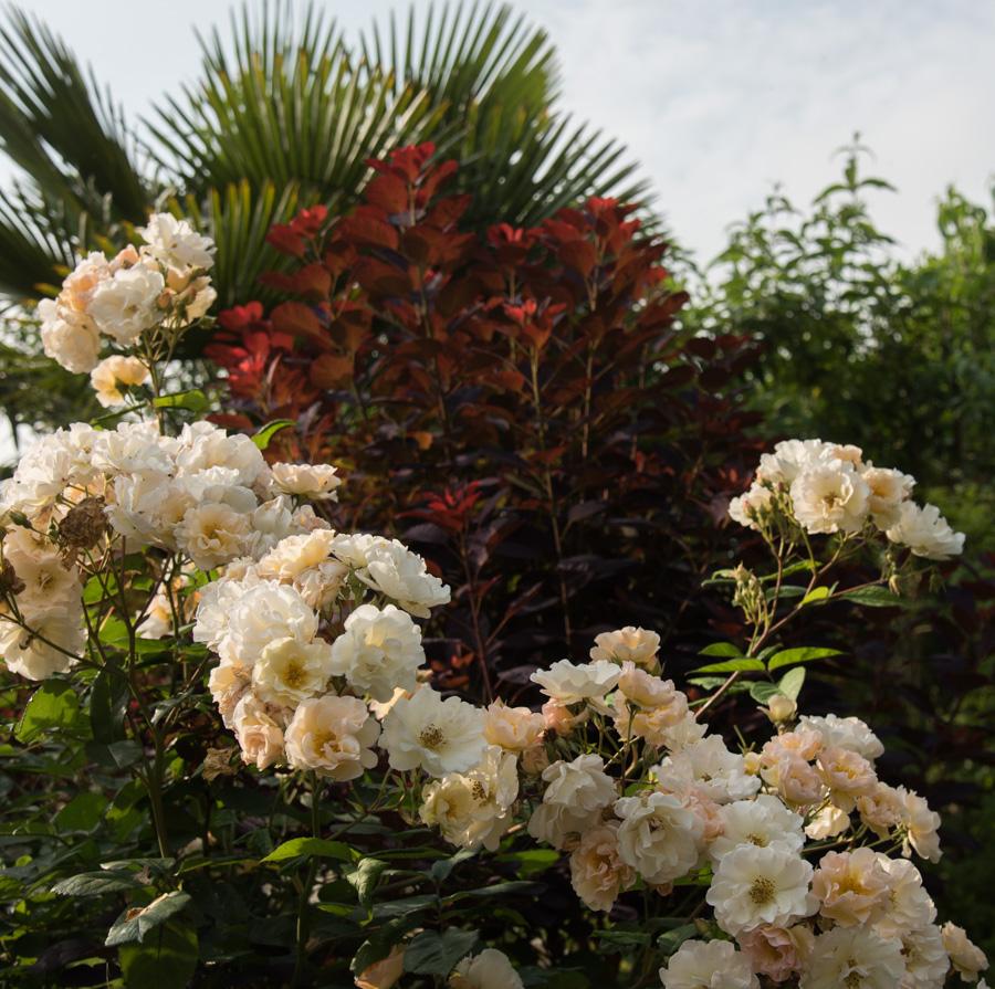 rosier pénélope, un vigoureux
