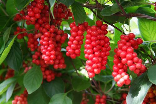Schisandra chinensis, fruit au 5 arômes