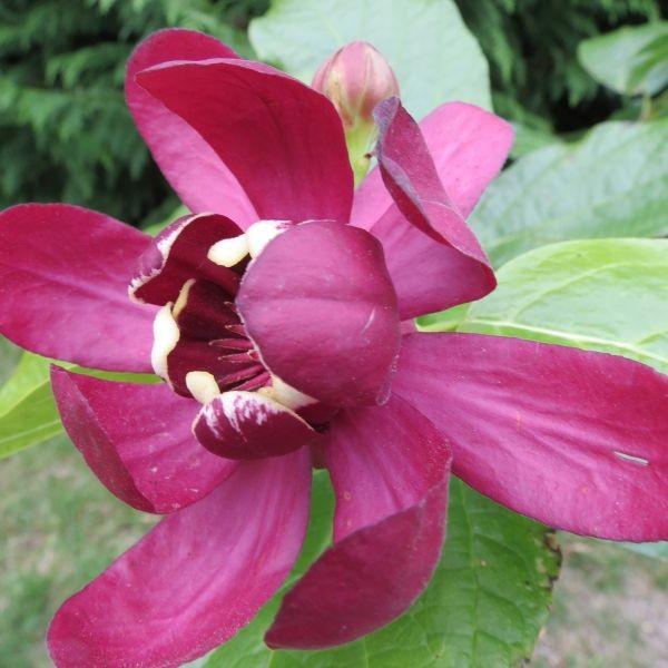 Calycanthus aphrodite, parfum pomme fraise