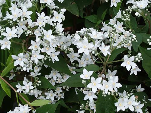 Deutzia Setchuenensis, Arbuste Délicat
