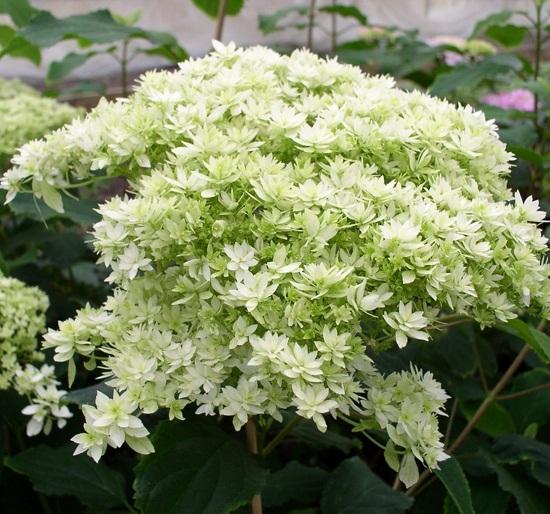 "hortensia arborescens ""hayes starbust"""