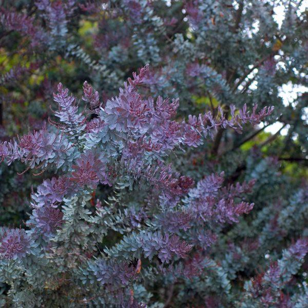 Acacia Baileyana Purpurea, Au Feuillage Bleu